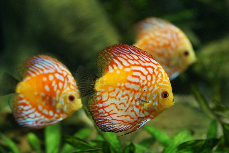 discus-fish-